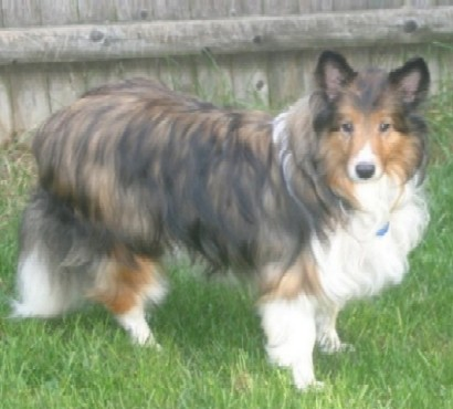 New England Sheltie Rescue